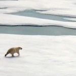 0906_arctic_bear